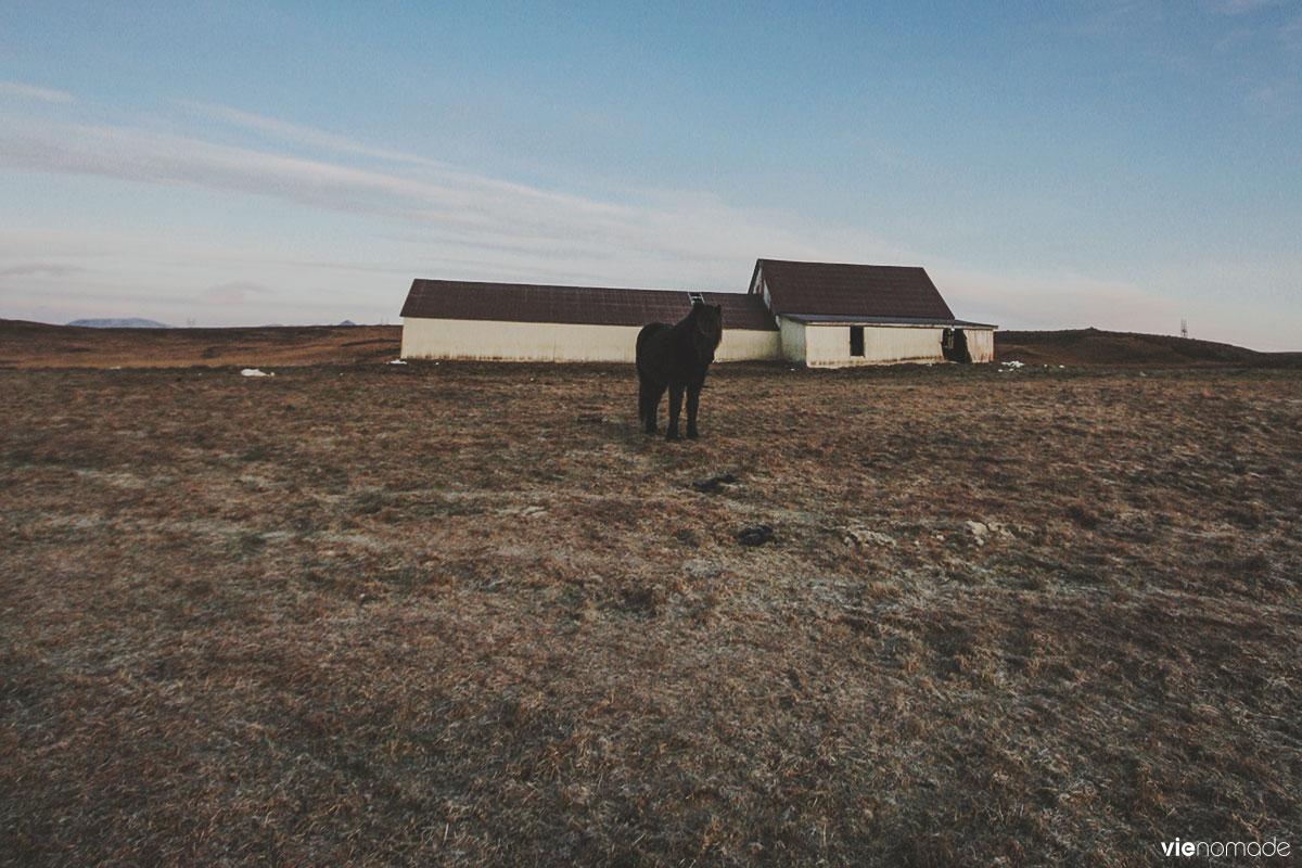 Chevaux islandais sur la route