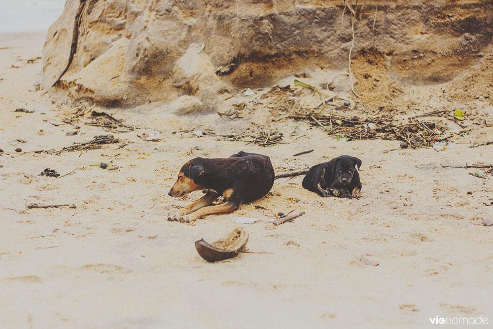 Chiens errants à Kalutara