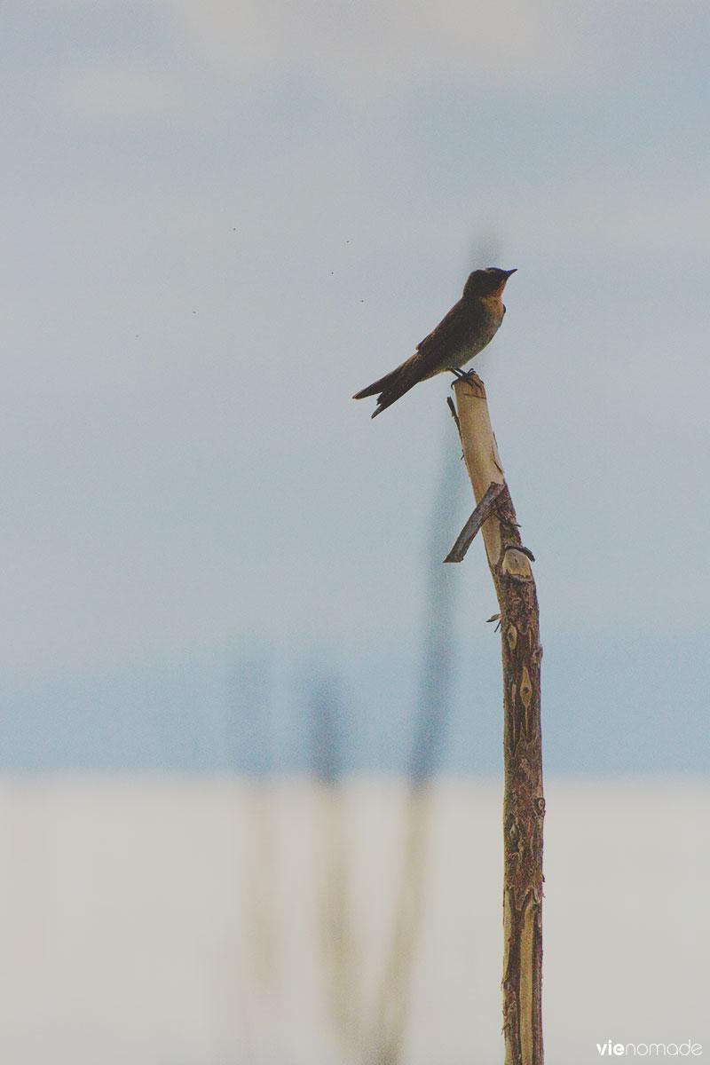 Oiseau sur l'île de Siquijor, Philippines