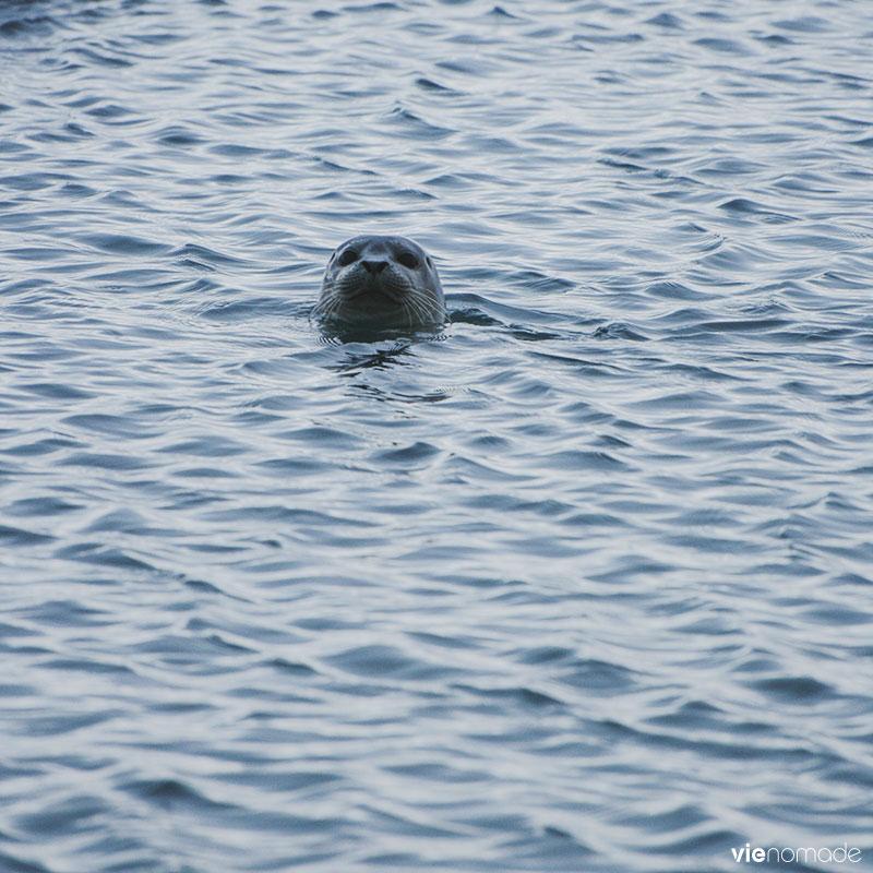 Islande en hiver: les phoques