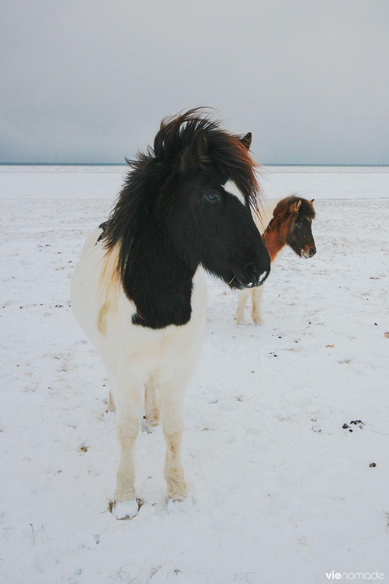 Island road trip: chevaux islandais