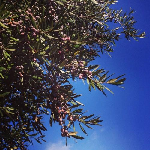 Olives en Grèce
