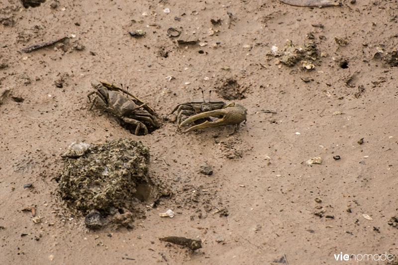 Observer les crabes violionistes en Thaïlande