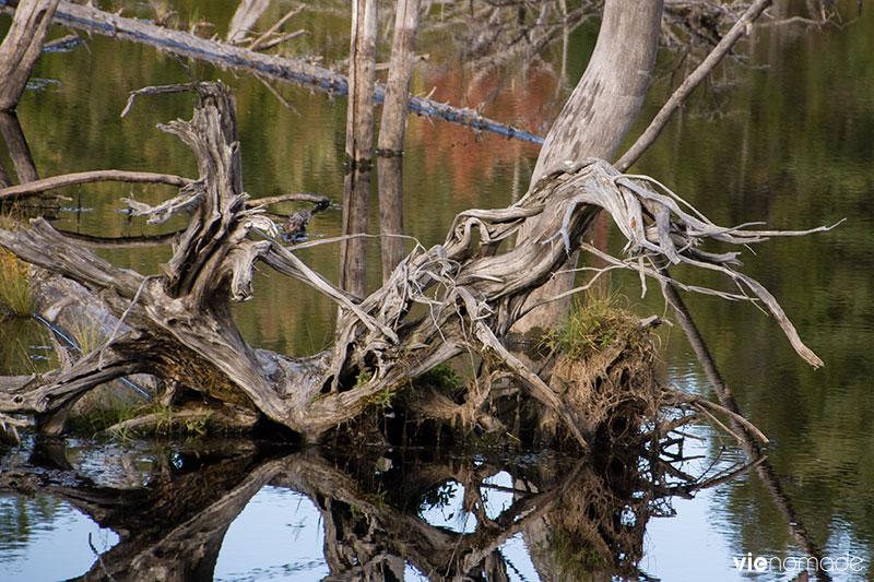 Arbres déracinés par l'eau, Sacacomie