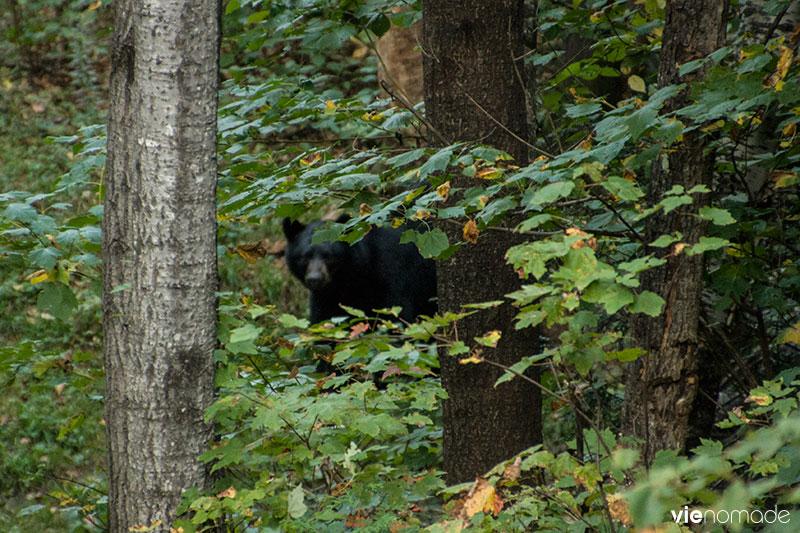 Ours noir à Sacacomie