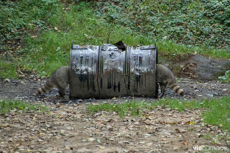 Ratons laveurs à Sacacomie