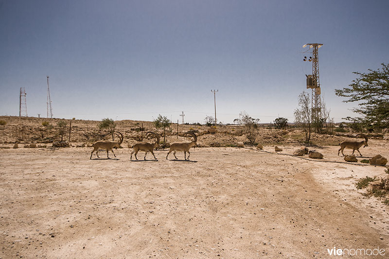 Bouquetins de Nubie à Mitzpe Ramon, Israël