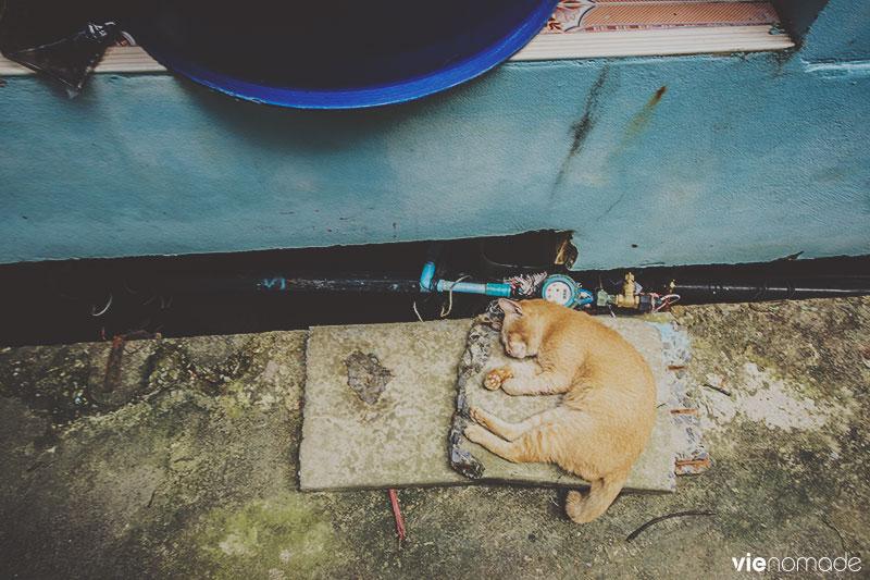 Chats de thaïlande