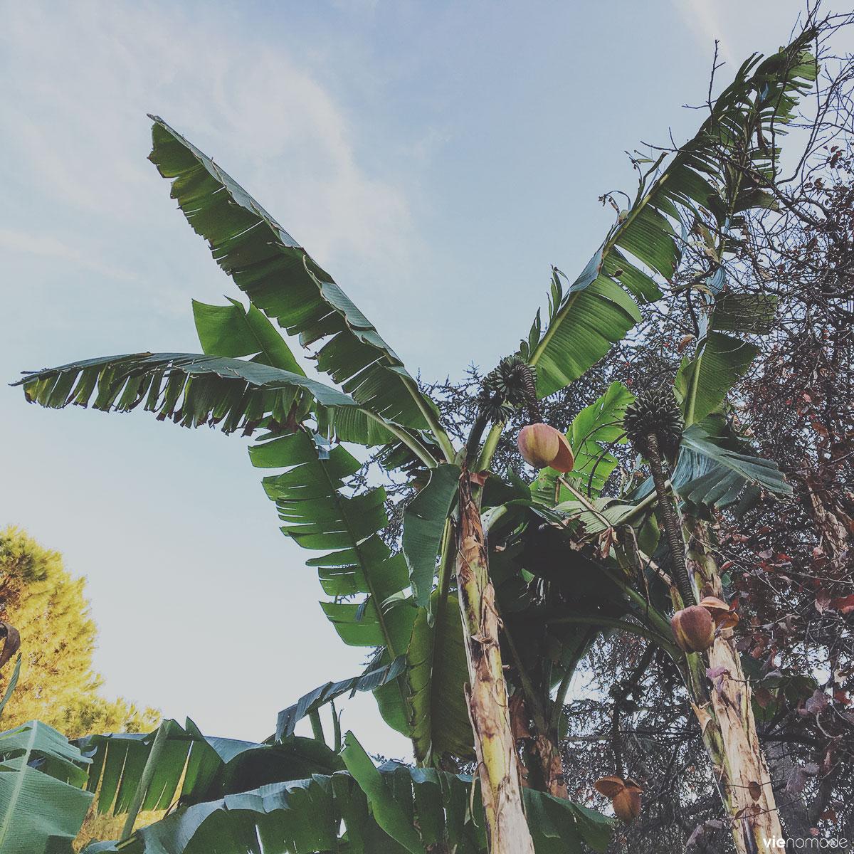 Des bananiers à Rome