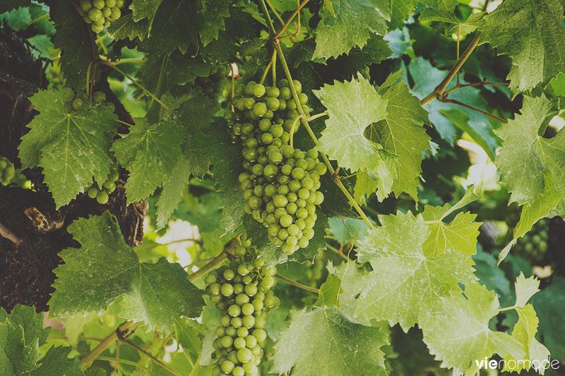 Vignes à Loèche (Leuk)