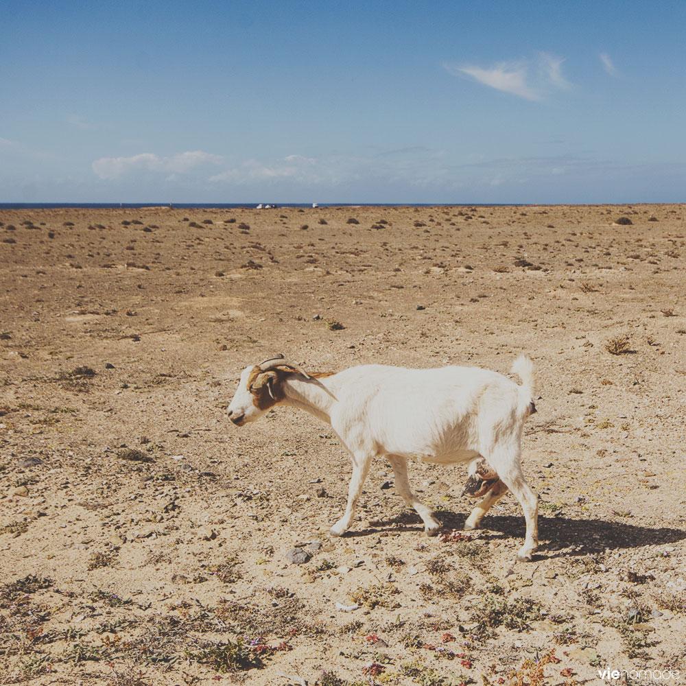 Chèvre majorera, Fuerteventura