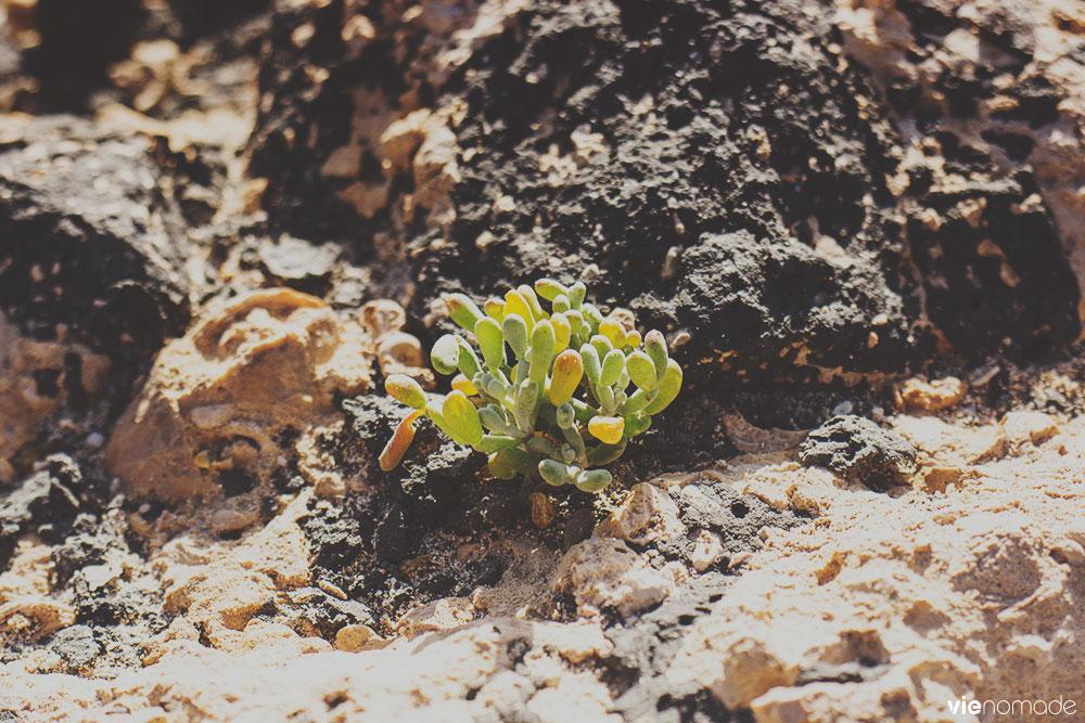 Fabagelle Desfontaines, végétation de Fuerteventura