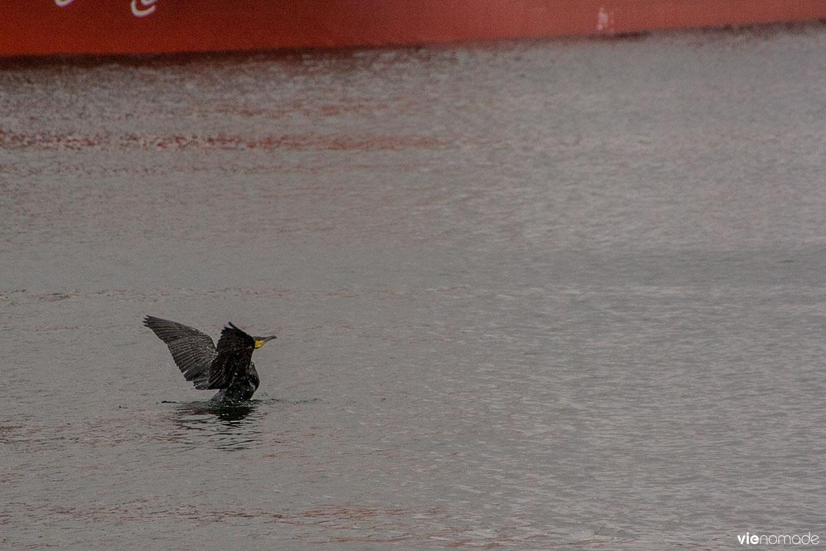 Un cormoran, Saint-Malo, Bretagne