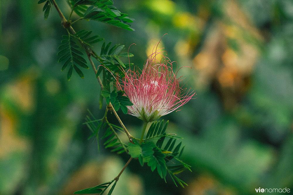 Albizia, plante et fleur tropicale à Tahiti
