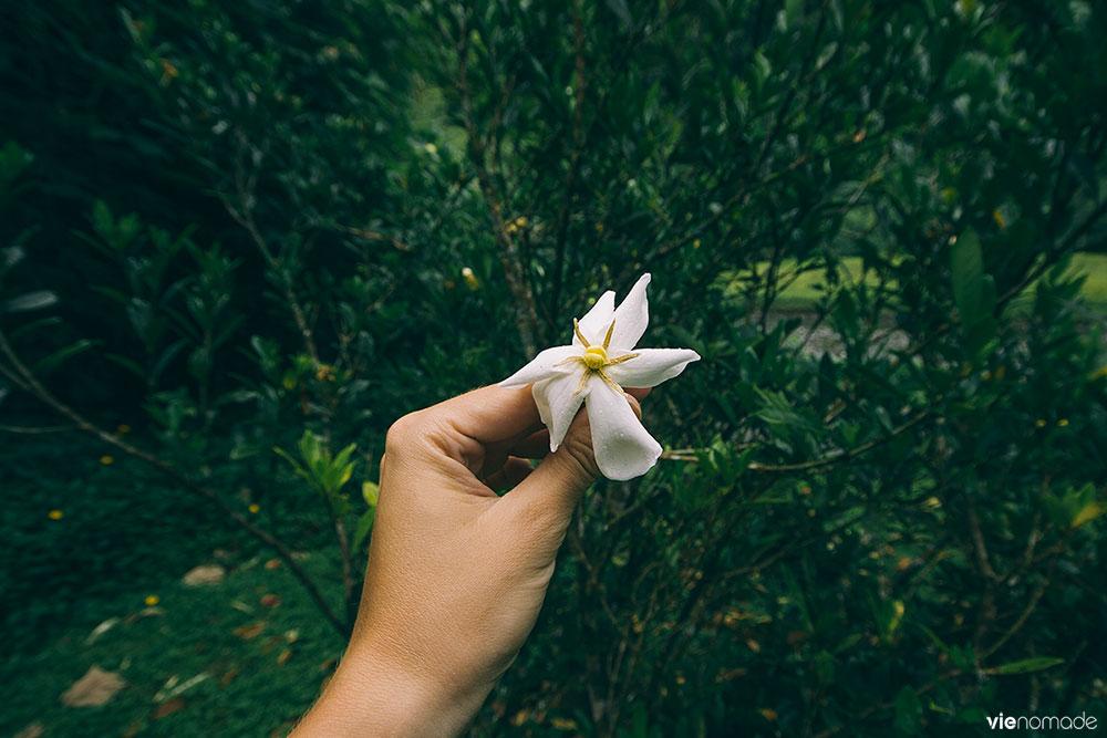 Gardénia, dans la vallée de Papenoo, Tahiti