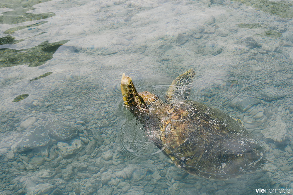 Tortues marines à Moorea