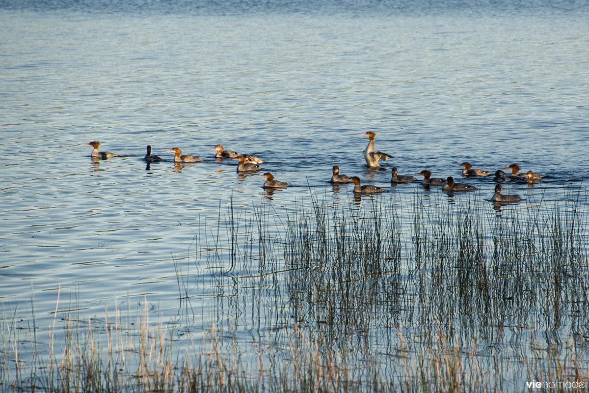 Observation des oiseaux, Lac Taureau, Québec