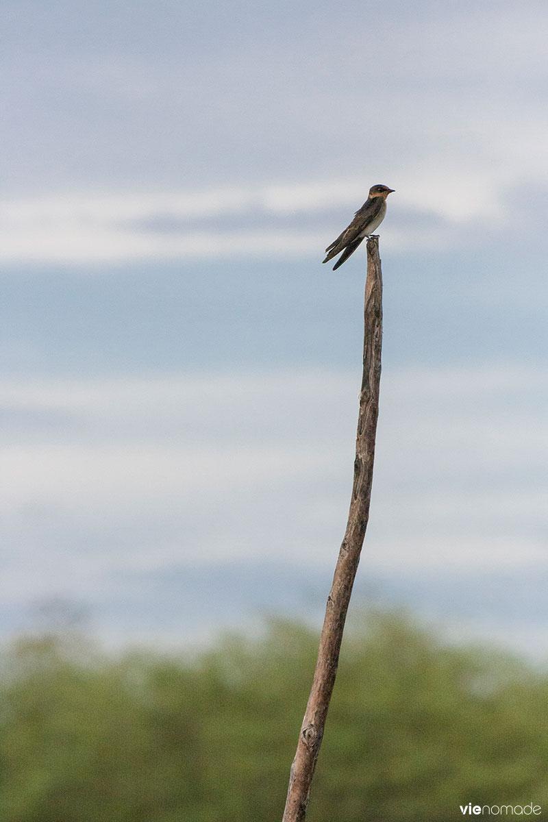 Les oiseaux de Siquijor