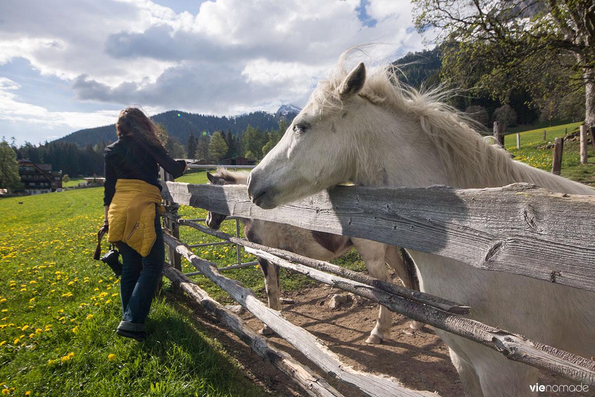 Jolis poneys à Ramsau, en Autriche