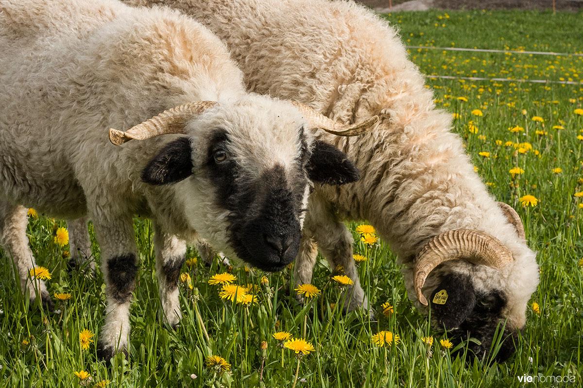 Moutons à Ramsau, Autriche