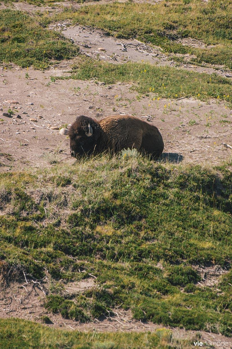 Bison d'Amérique du Nord - Saskatchewan
