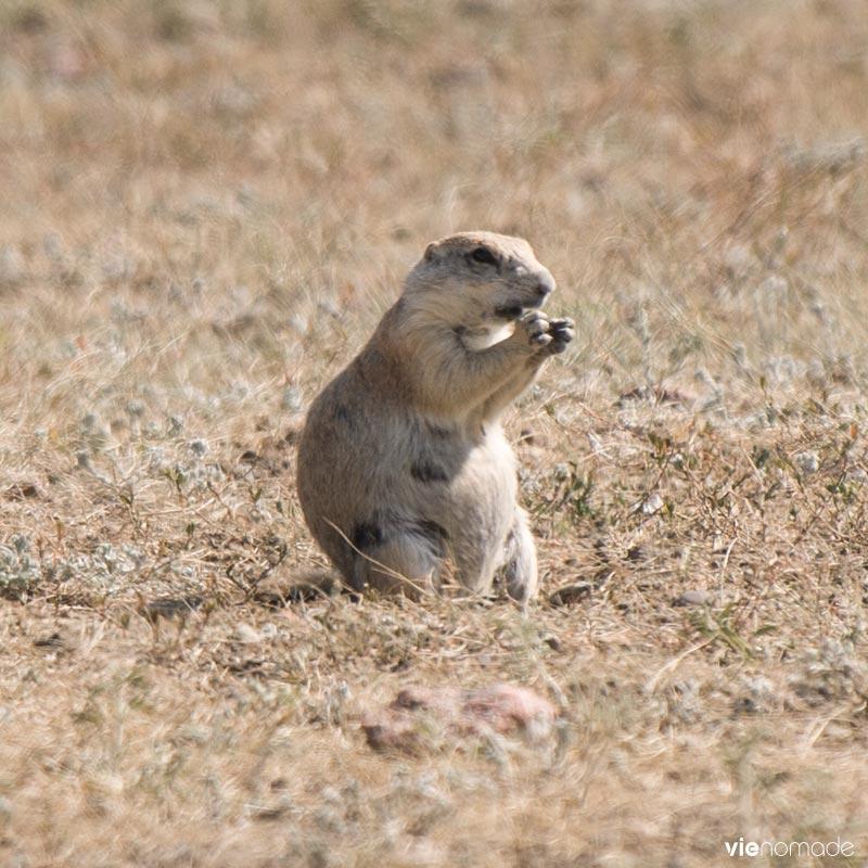 Chien de prairie à queue noire