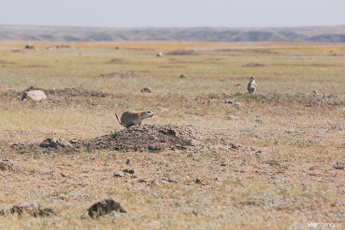 Colonie de chiens de prairie à queue noire