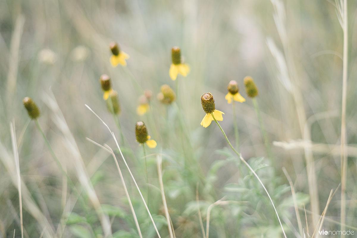Plantes des Prairies: Ratibida Columnifera