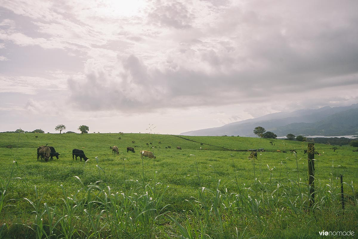 Plateau de Taravao et ses vaches, Tahiti